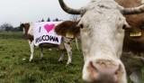Protest przeciwników budowy zbiornika wodnego Kąty-Myscowa nie mógł się odbyć. Ludzi wyręczyły… krowy [ZDJĘCIA]
