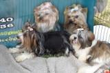 Częstochowa: Psy rasowe - Międzynarodowa Wystawa Psów Rasowych [ZDJĘCIA]