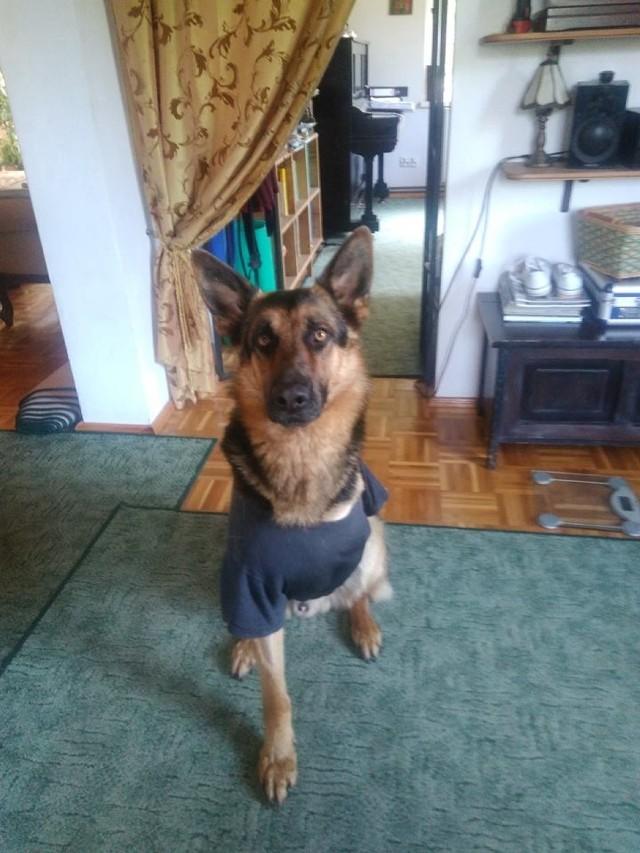 Teddy, owczarek niemiecki, tydzień temu skończył dwa lata. Został postrzelony na początku czerwca w Paparzynie, w pobliżu gospodarstwa swojej właścicielki