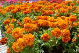 Chełm. Letnie kwiaty ozdobią ronda i skwery w mieście. Zobacz zdjęcia