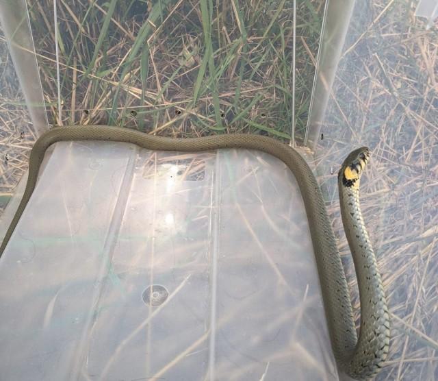 Zgłoszenie o wężu buszującym w komórce na zapleczu kamienicy przy ul. Kunickiego wolontariusze otrzymali w niedzielę