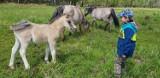 Można kupić koniki polskie spod Goleniowa. Są przepiękne