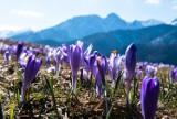 Podhale. Krokusy opanowały łąki. Kwitną także w samych Tatrach [8.04.]
