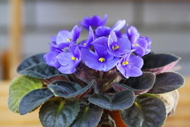 Do roślin cieniolubnych roślin domowych należą różne gatunki. Znajdziemy coś do małych i dużych mieszkań.