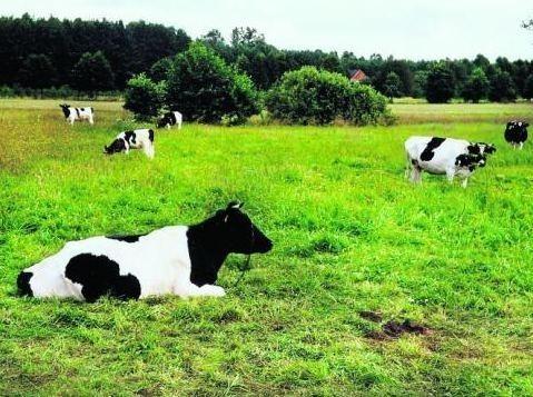 Przez upał i brak wody cierpiały zwierzęta. W jednym z gospodarstw padły trzy krowy