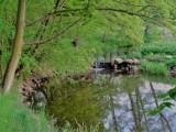 Gołuchowski park wiosennie. Zobacz, jak pięknie się prezentuje ZDJĘCIA