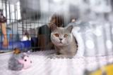 Międzynarodowa Wystawa Kotów Rasowych 2021. W Warszawie, w Hali Gier, pokazano najpiękniejsze koty