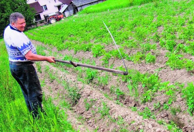 Stanisław Ocimek z Gorzenia pokazuje szkody, jakie wyrządziły mu dziki na polu ziemniaków