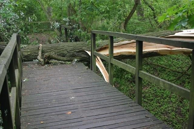 Drzewo tarasuje mostek na ścieżce rowerowej w Puszczykowie.