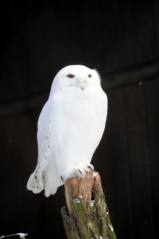 Sowa śnieżna - gatunek dużego ptaka drapieżnego z rodziny puszczykowatych. Samiec jest piękny, biały. Poluje przede wszystkim nocą, ale zdarza się, że na łowy wychodzi w ciągu dnia. Niebezpieczny dla małych gryzoni i ryb.