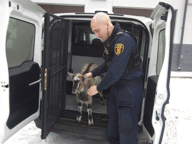 W czwartek rano strażnicy złapali młodą kozę