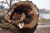 Malbork. Trwa przebudowa bulwaru. Nad Nogatem znikają drzewa zakwalifikowane do wycinki
