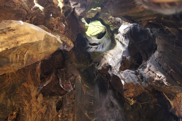 Dąb w środku jest cały nadpalony, a mimo to drzewo wciąż żyje i wypuszcza zielone liście