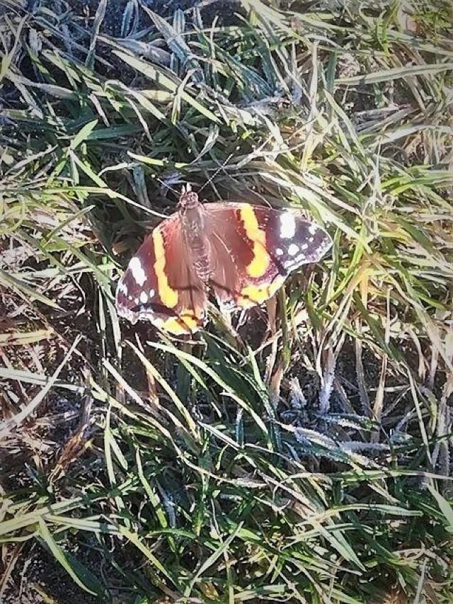 Motyl z Aleksandrii Krzywowolskiej w gminie Rejowiec