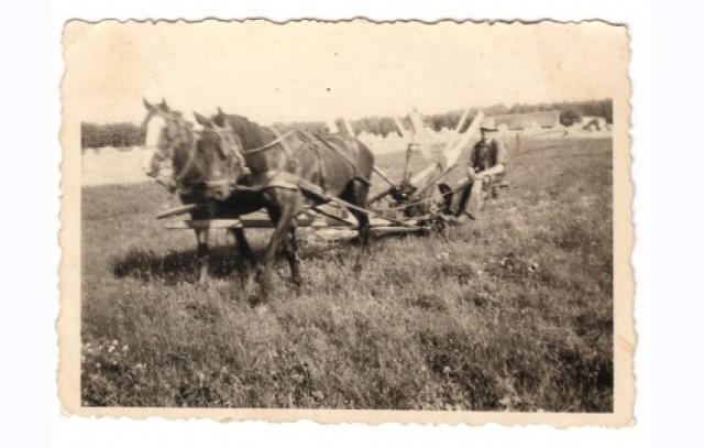 Jak dawniej wyglądały żniwa w Sępólnie Krajeńskim i okolicach? W jaki sposób mieszkańcy obchodzili dożynki? Zobacz na archiwalnych zdjęciach, które posiada w swoich zasobach Biblioteka Publiczna w Sępólnie.