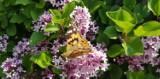 Wiosna w pełni: kwiaty i motyle na działkach [ZDJĘCIA]
