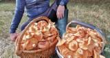 Bardzo udane rydzobranie w okolicach Szczecinka. Imponujący zbiór grzybów [zdjęcia]