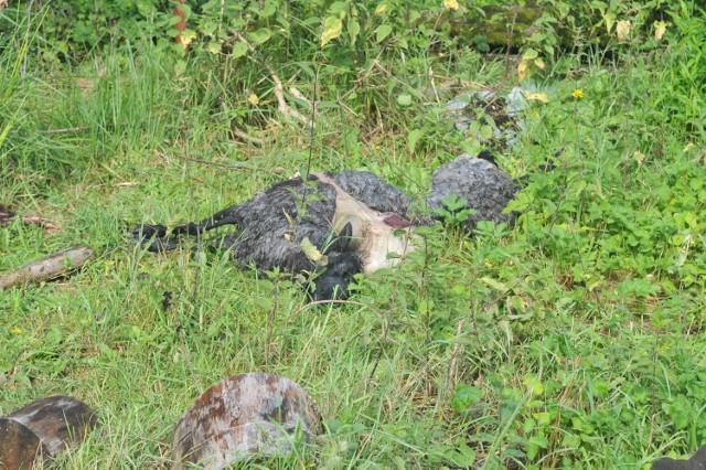 Wilki zagryzły pięć owiec we wsi Mosina w gminie Witnica.