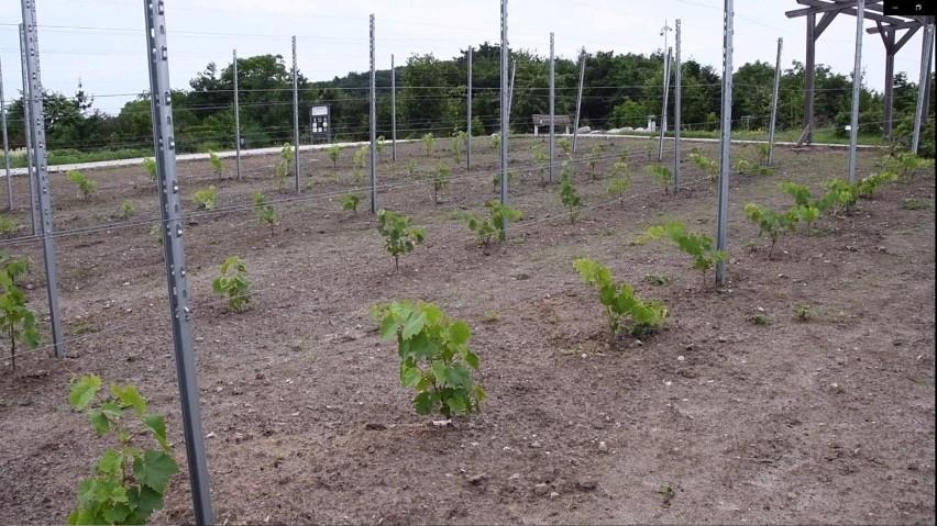 Będzie wino z Ogrodu Botanicznego w Kielcach? Właśnie założono w nim winnicę (ZDJĘCIA, WIDEO)