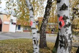 Wycinka drzew w Siemianowicach Śląskich. Społecznik walczy o ocalenie drzew