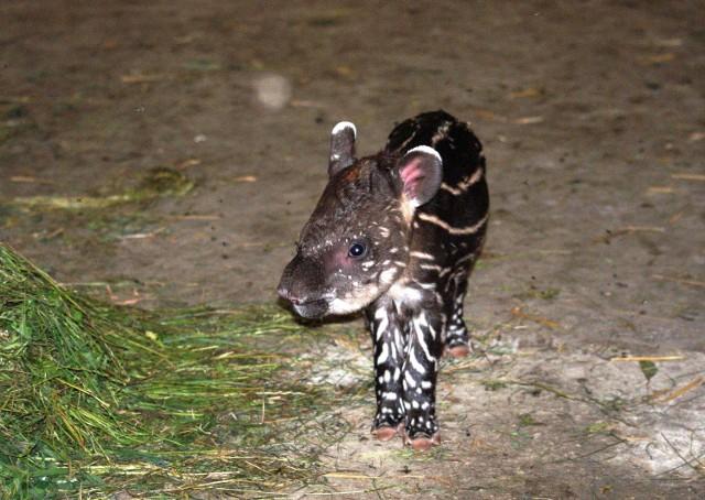 tapir anta