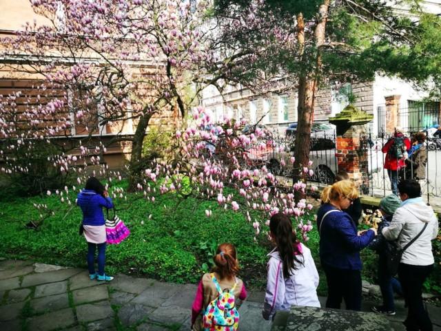 Spacer szlakiem kwitnącej magnolii w Cieszynie od początku jego utworzenia cieszył się dużym zainteresowaniem turystów