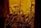 Nielegalna uprawa konopi w Zgierzu. Policjanci zatrzymali 41-letniego mężczyznę