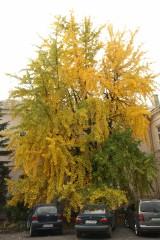 Miłorząb dwuklapowy został Drzewem Chełma 2021