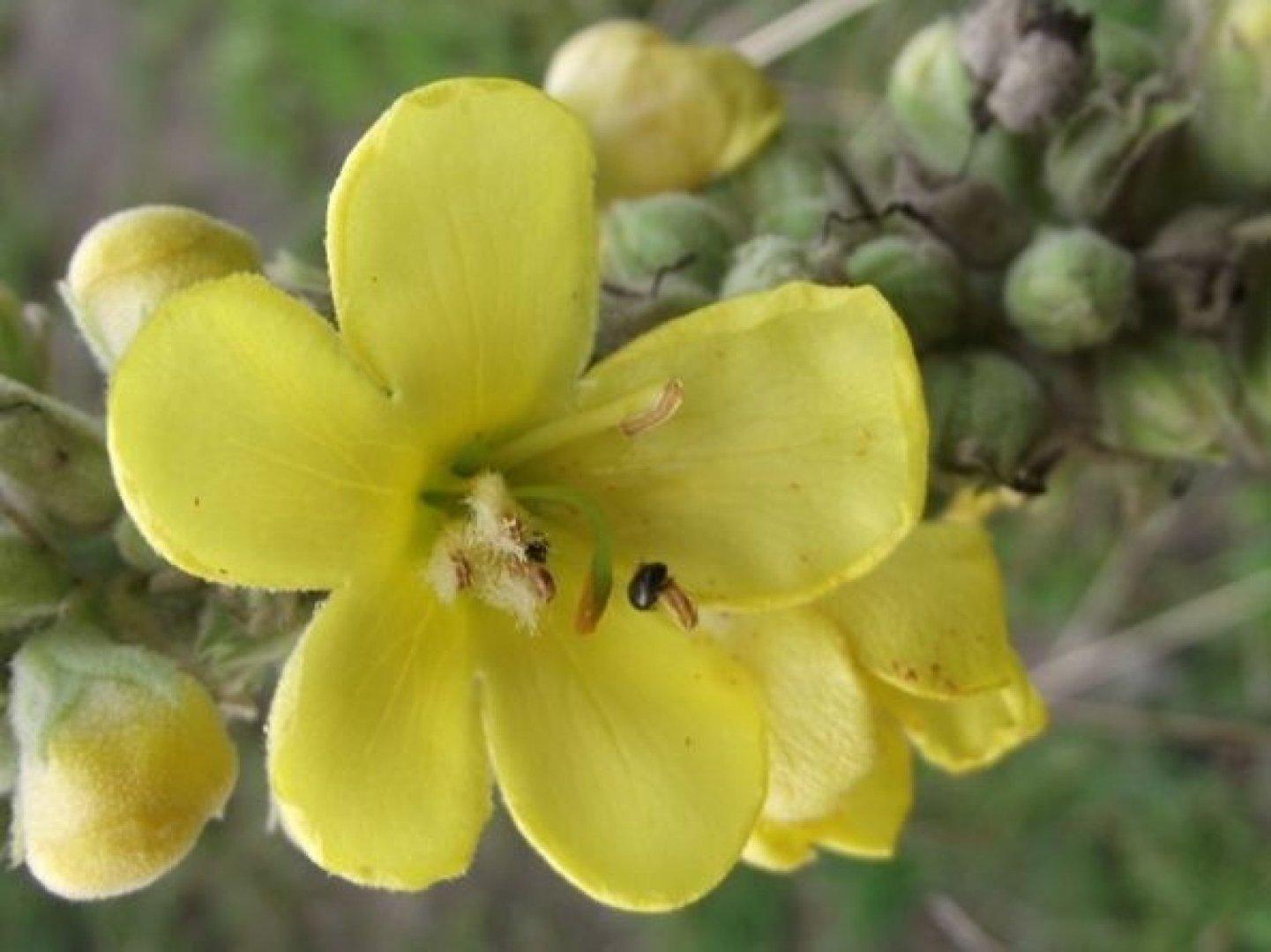 żółte Kwiaty Dziko Rosnące Spotkasz Je Na łące Zobacz Jakie Mają