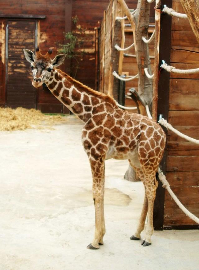 Młoda żyrafa Lira już dotarła do zoo w Łodzi