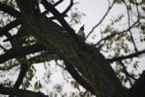 Pracowity dzięcioł na drzewie akacji - ZDJĘCIA