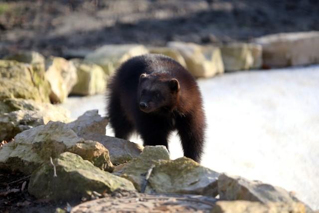 Rosomaki lubią zimowy klimat. Warto je odwiedzić. Tatyanę i Thora zobaczymy w Śląskim Ogrodzie Zoologicznym w Chorzowie.  Zobacz kolejne zdjęcia. Przesuwaj zdjęcia w prawo - naciśnij strzałkę lub przycisk NASTĘPNE