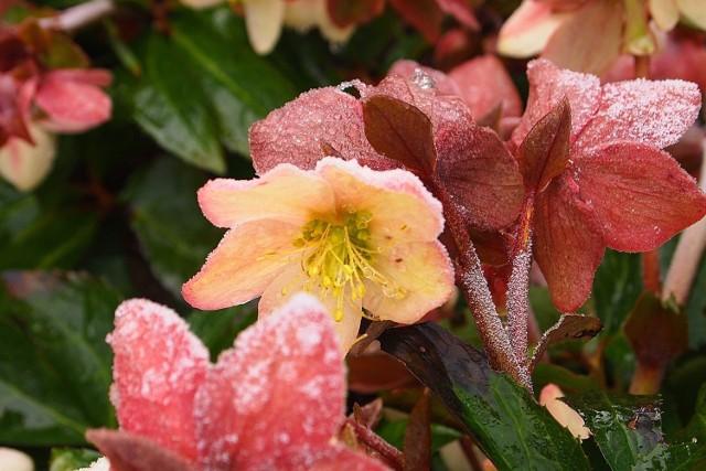 """Niektóre gatunki ciemierników zakwitają już w grudniu, dlatego są nazywane """"różami Bożego Narodzenia""""."""