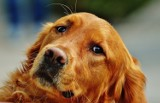 Pierwsza firma w Polsce wprowadza urlop psiacierzyński. Czy można skorzystać z urlopu na psa?