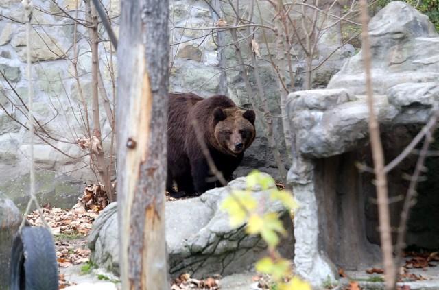 Niedźwiedzie wkrótce zapadną w sen zimowy. Ale niektóre gatunki w zwierząt wolą, gdy na dworze jest chłodniej. Bardziej aktywne wtedy są m.in. pandy rude.