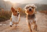Mądre psy. Poznaj najmądrzejsze rasy psów. Te czworonogi szybko się uczą się, są wierne i kochają ludzi! Są idealne! [29.03.2021]