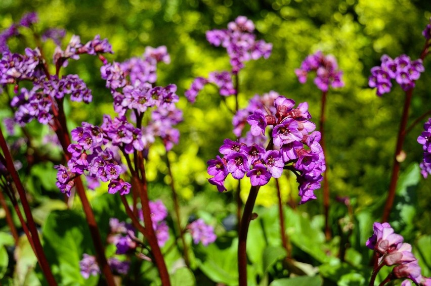 Do pięknych zimozielonych bylin należą bergenie (np....