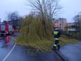 Powalone drzewo przy ul. Osmolińskiej w Zduńskiej Woli ZDJĘCIA