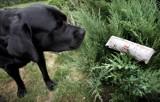 W Fordonie ktoś chce zabić psy - rozsypuje trutkę na szczury