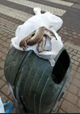 Kto zostawił martwego węża na ulicy Gdańskiej w Bydgoszczy?