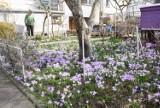 Bajeczne krokusy pani Izabelli. W tym niezwykłym ogrodzie w Zielonej Górze rosną kwiatowe dywany! Wiosną jest tu magicznie