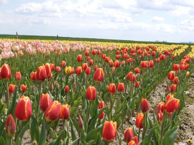 Aż 30 tysięcy tulipanów w jednym miejscu w Polance Wielkiej.