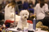 Zobacz te piękności! Międzynarodowa wystawa psów rasowych w Expo Silesia w Sosnowcu [ZDJĘCIA].