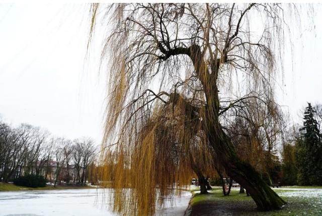 Prezydent Kielc wstrzymał wycinkę wierzby nad stawem w parku miejskim w Kielcach.