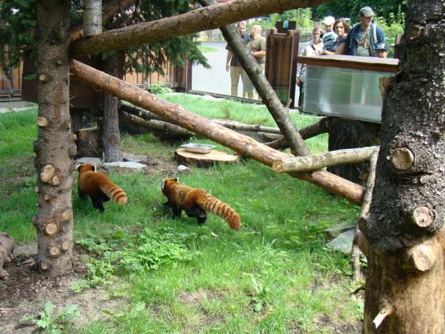 Dwie pandy czerwone przyjechały do Chorzowa
