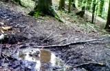 Puszczyk uralski korzysta z leśnego SPA. Nagranie z fotopułapki Gorczańskiego Parku Narodowego [ZDJĘCIA, FILM]