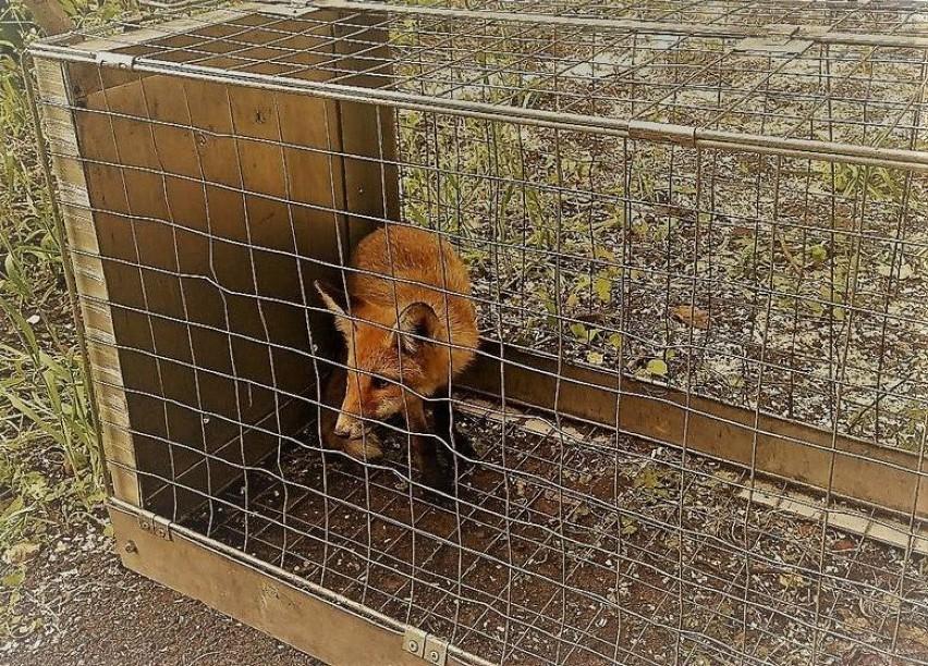 Ekopatrol w Białymstoku! Straż Miejska pomaga zwierzętom [zdjęcia]