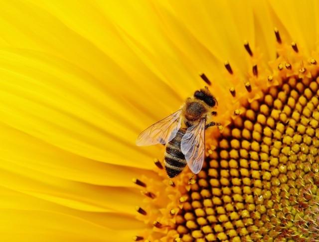 Województwo Małopolskie przeznacza 500 tys. złotych na ochronę bioróżnorodności pszczół w Małopolsce