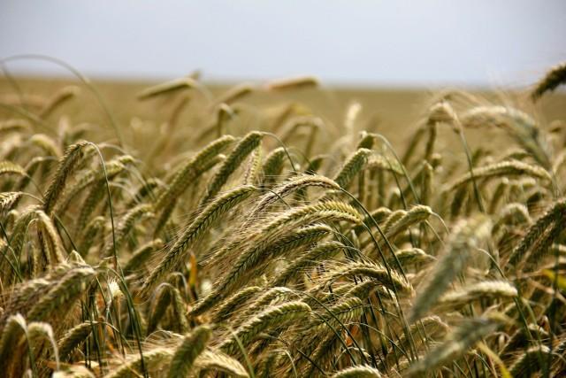 Do zdarzenia doszło w gminie Kolno podczas pracy na polu. 45-letni rolnik zginął na miejscu, gdy wciągnęła go prasa rolująca.