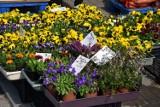 Kościerzyna. Handel na targowisku kwitnie. Cenny sadzonek, kwiatów, owoców i warzyw [ZDJĘCIA]